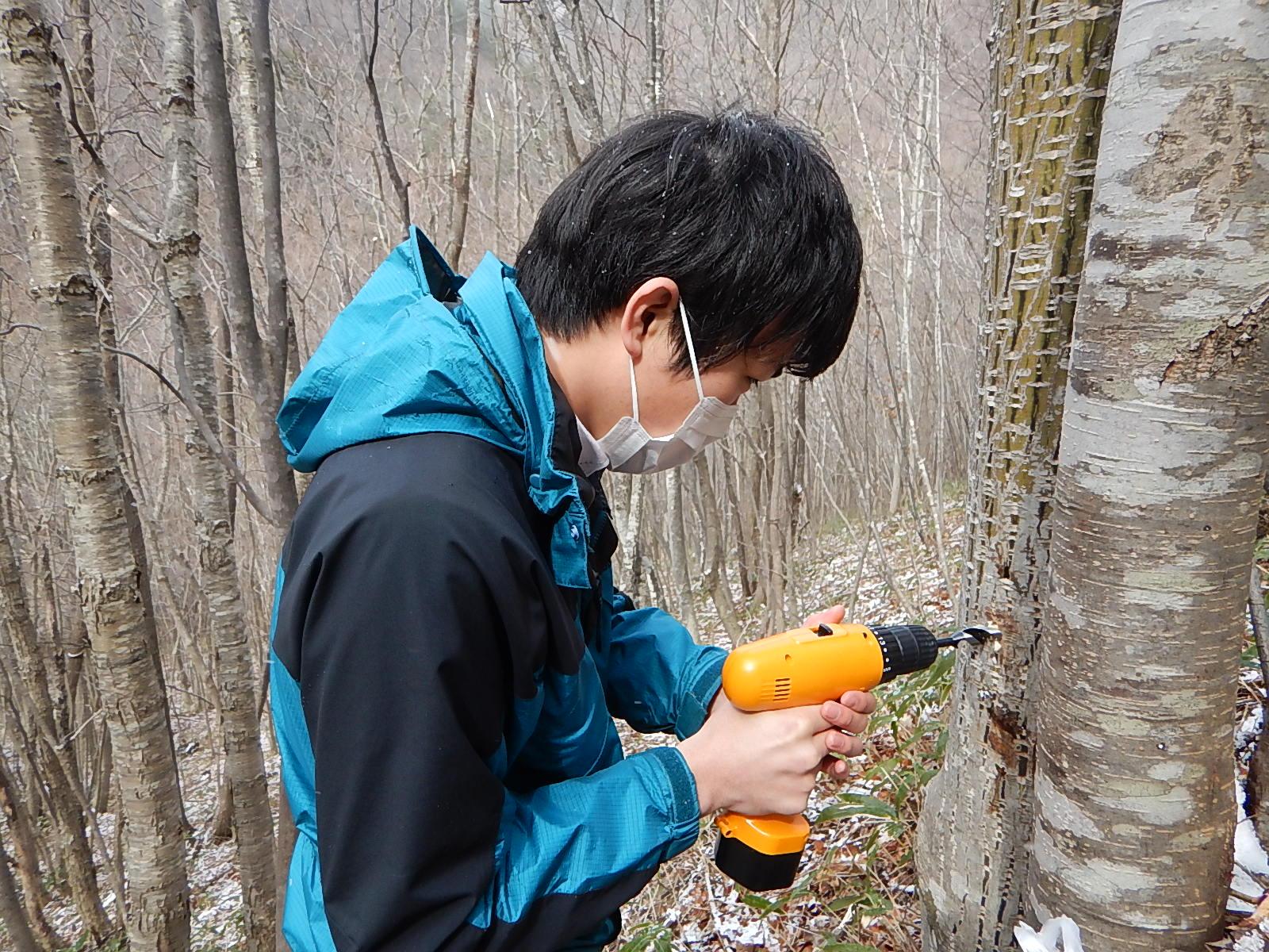 自家製メープルシロップも!?樹液採取の方法を教えるよ。