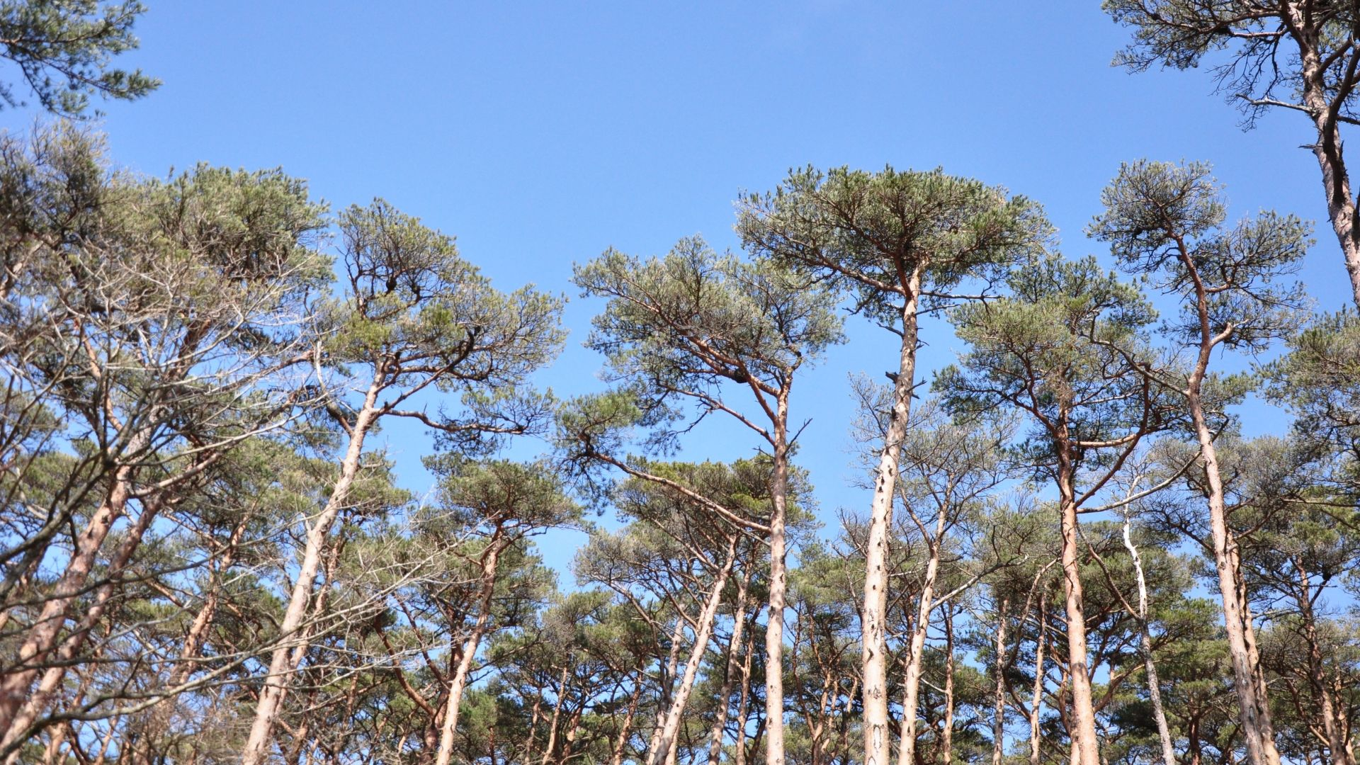 【樹木図鑑】松茸だけじゃない。木材としてのアカマツの可能性。