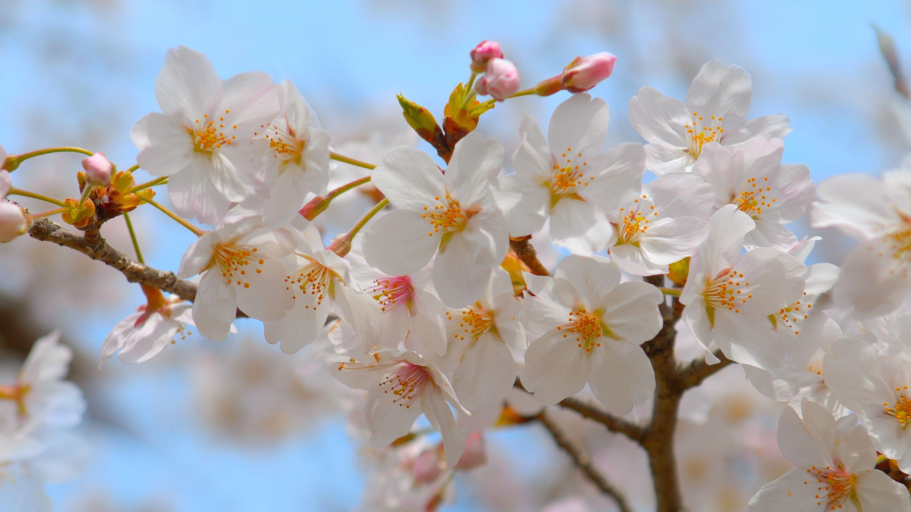 ほんわりとした優しい桜色。本物の桜を使った桜染めで春を感じよう。