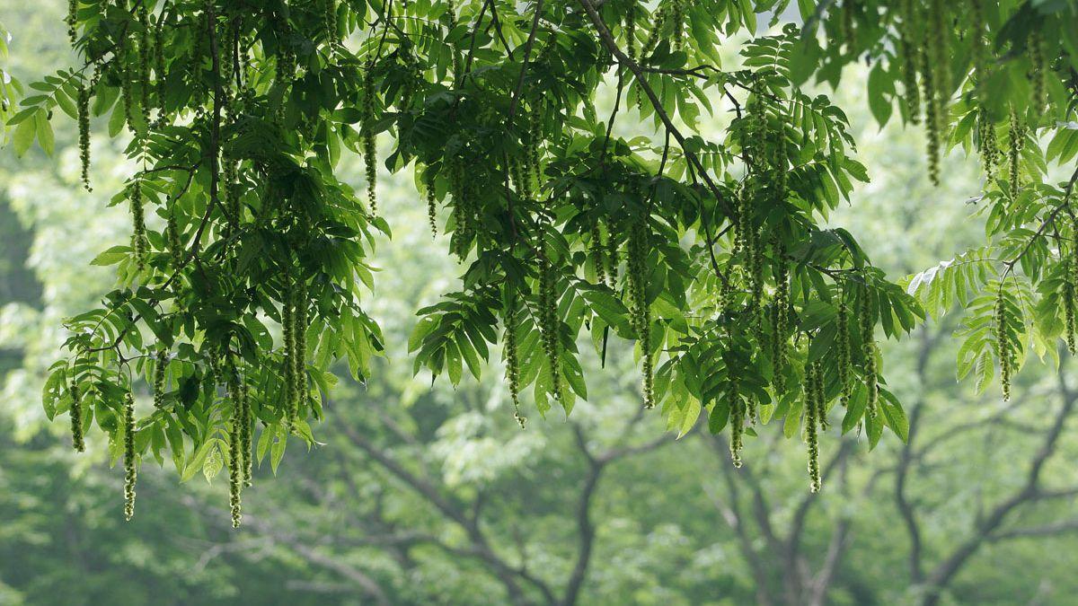 【樹木図鑑】実を食べられない方のクルミ。樹皮を使うサワグルミ。