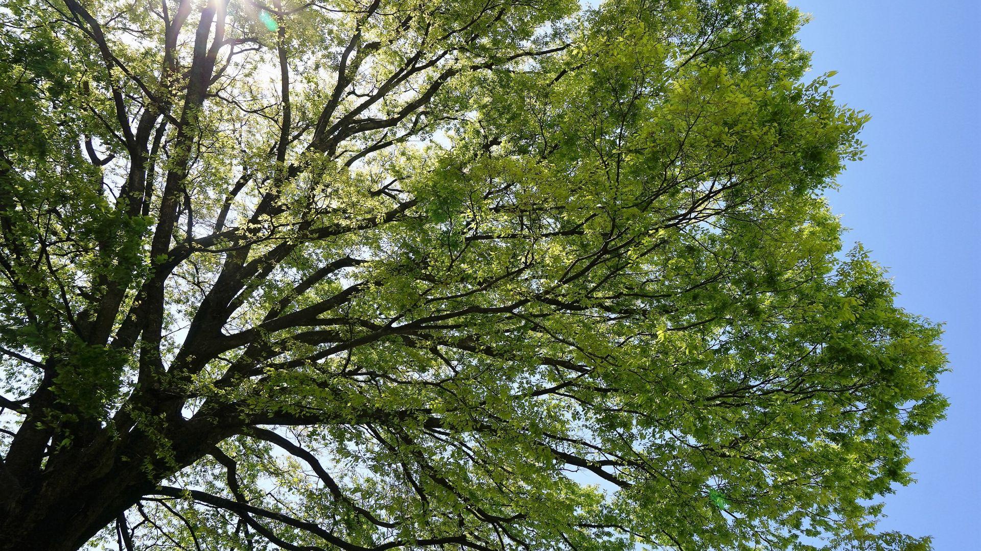 【樹木図鑑】かつては高級木材だった。和のイメージのケヤキ。