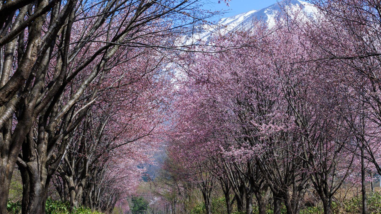 【樹木図鑑】花だけじゃない。樹皮も木材も美しいヤマザクラ。