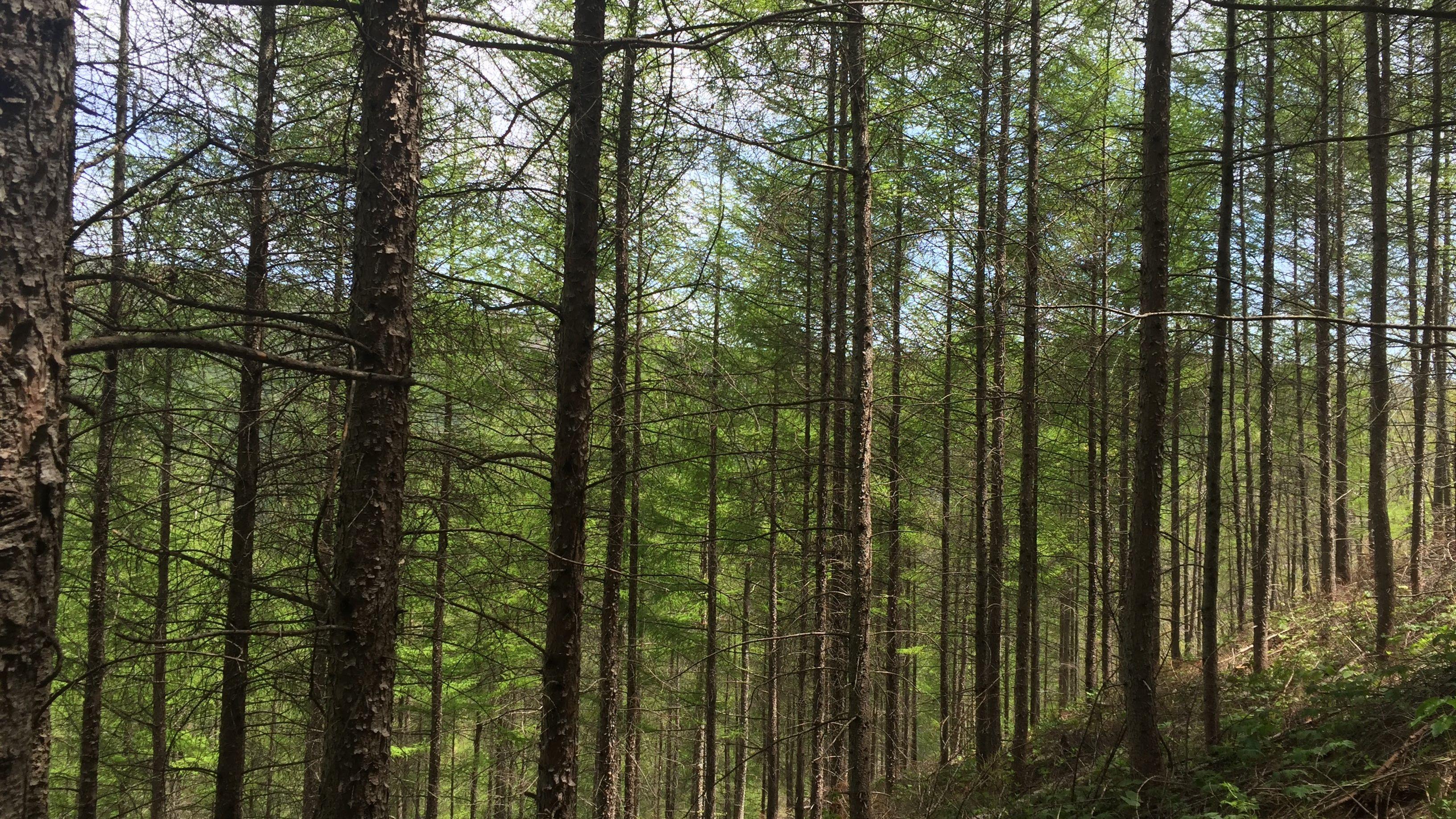 【樹木図鑑】ラミナやパレットに。木材としての活路を見出したカラマツ。