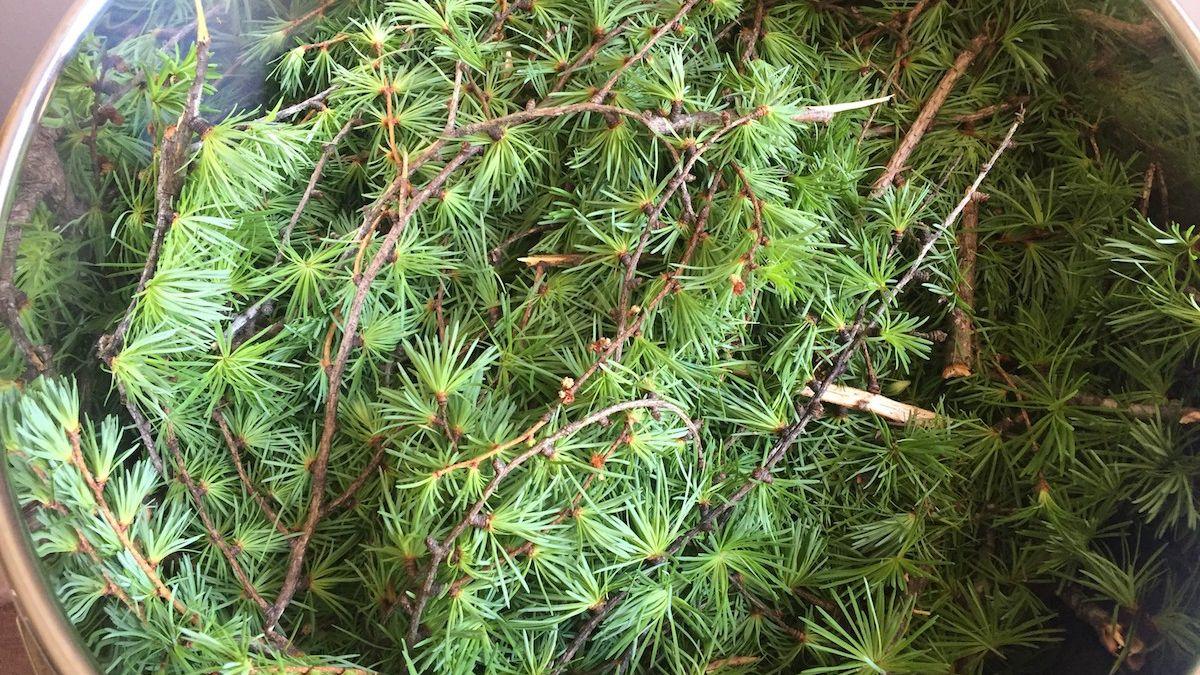 森の香りを取り出してみよう!カラマツの葉っぱでアロマオイルを抽出してみたよ。