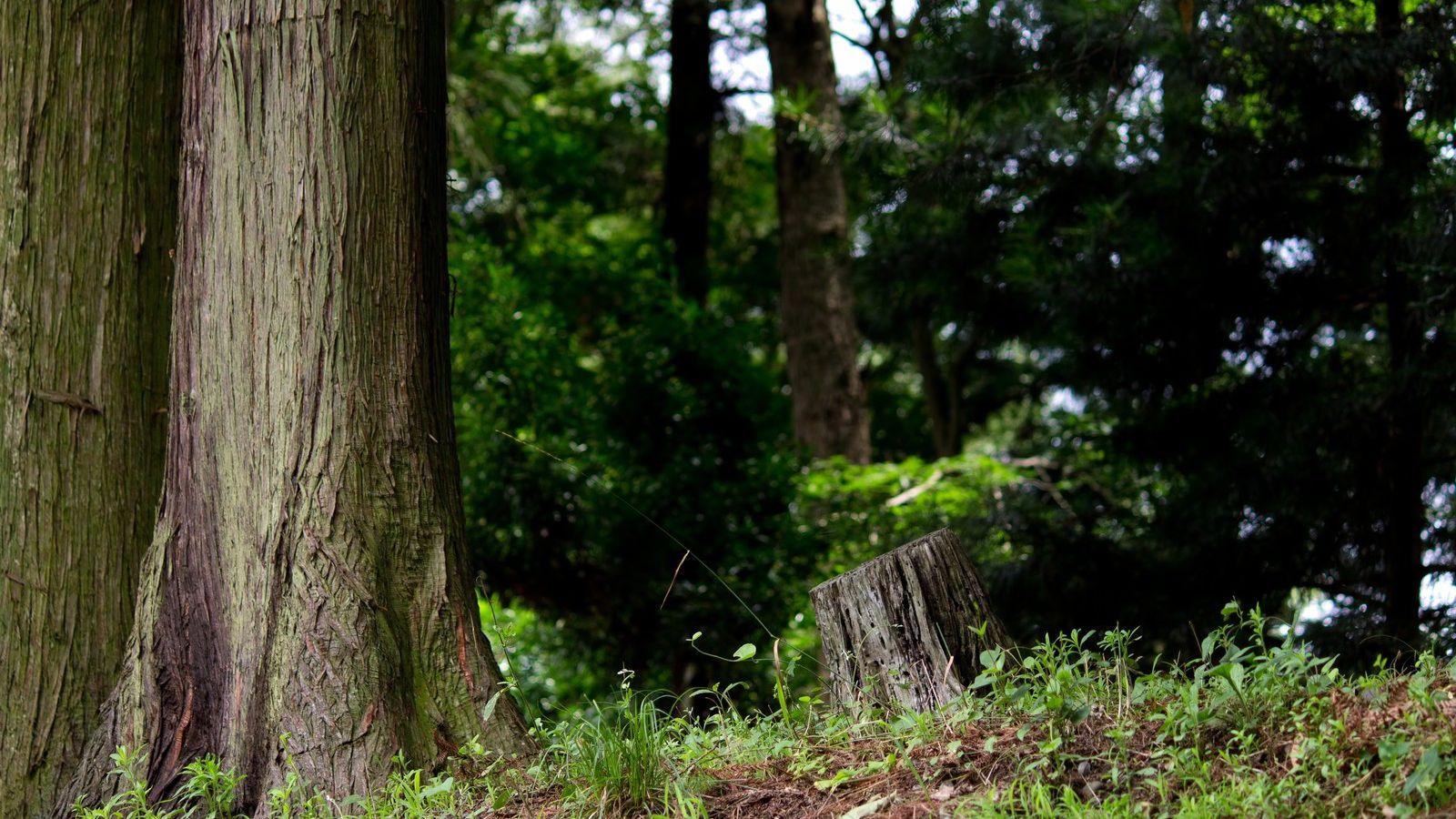 【樹木図鑑】戦後を代表する木材。精油に線香に広がるスギの可能性。