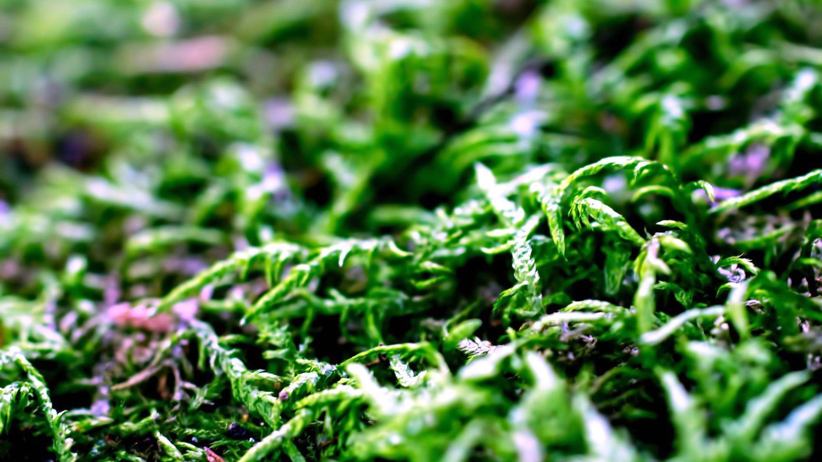 【構想】杉の葉線香に学ぶ。いろんな木の葉っぱで線香を作ってみたい。