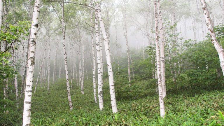 【樹木図鑑】綺麗なだけじゃない。樹液や樹皮の活用が進むシラカバ。