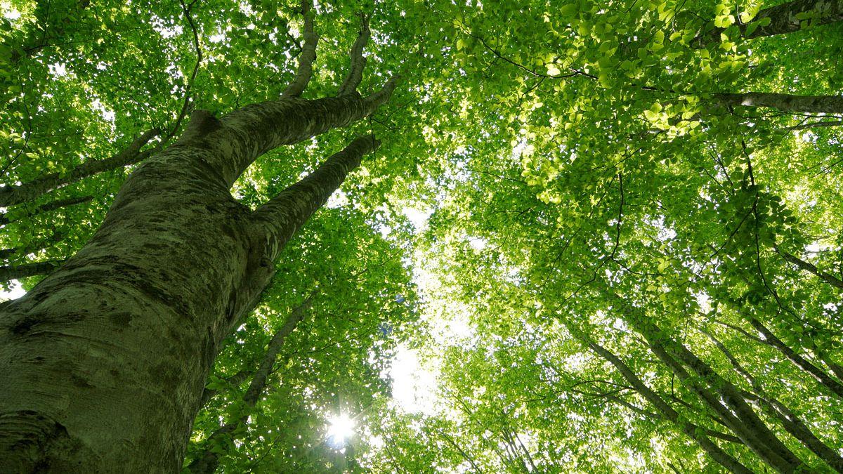 【樹木図鑑】森の女王ブナの生態と材を利用した製品のまとめ
