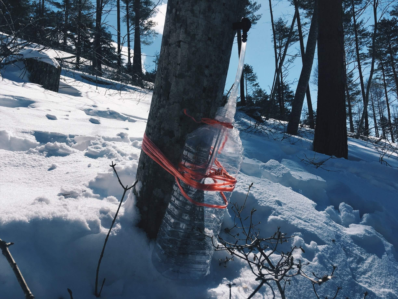 2018年の樹液採取が始まる。今回採取するのはウリハダカエデ。